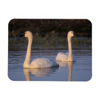Whistling swan or tundra swan, swimming in the rectangular photo magnet