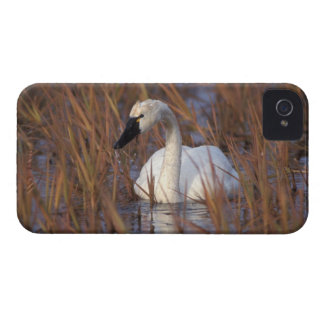 Whistling swan swimming in a pond, 1002 Coastal iPhone 4 Case