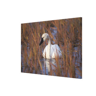 Whistling swan swimming in a pond, 1002 Coastal Stretched Canvas Print