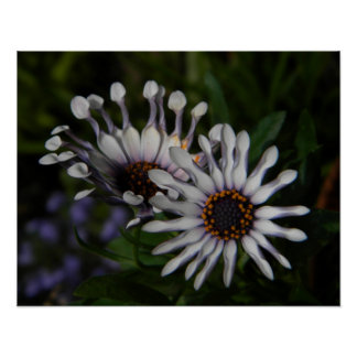 White African Daisies 1 Posters