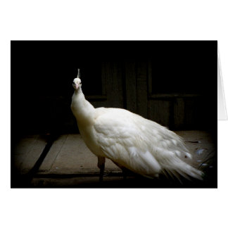 White Albino Peacock Card