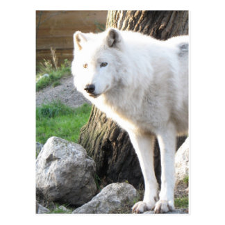 White albino wolf spirit - Therian gifts Postcard