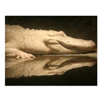 White Alligator Postcard