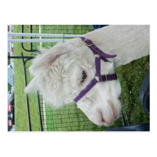 White Alpaca, 1 Postcard