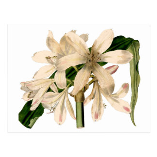 White Amaryllis Botanical Postcard