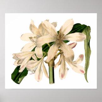 White Amaryllis Botanical Poster