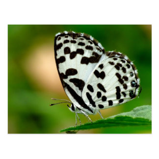 White and Black Spotted Pierrot Butterfly Postcard