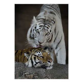 White And Brown Tigers Resting Print