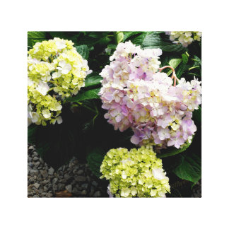White and Pink Hydrangea Canvas Print