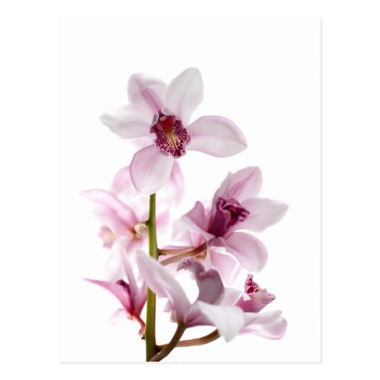 White and pink orchids postcard