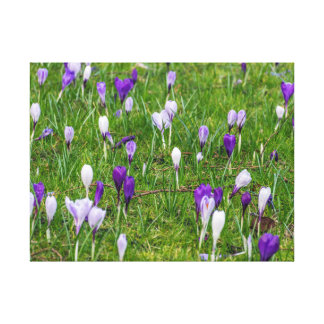 White and purple crocuses canvas print