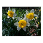 White and Yellow Daffodils Spring Postcard
