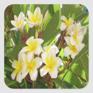 White and Yellow Frangipani Flowers with Leaves Square Sticker