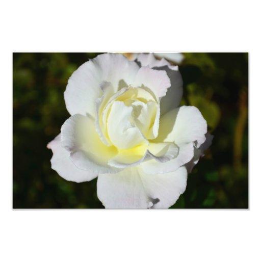 White and Yellow Rose Print Art Photo