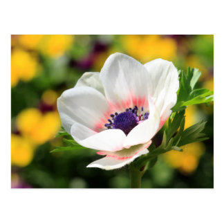 White Anemone Postcard