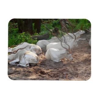 White Antelope Magnet