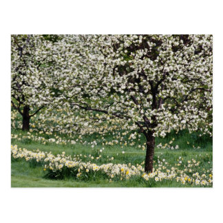 white Apple and daffodil blossoms, Rockliffe Park, Postcards