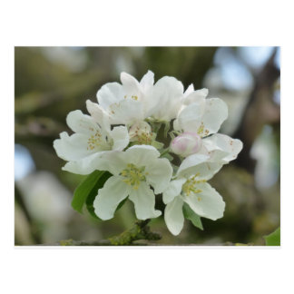 White Apple Blossom Postcard