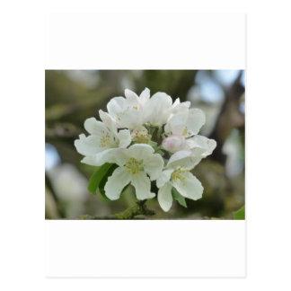 White Apple Blossom Postcards