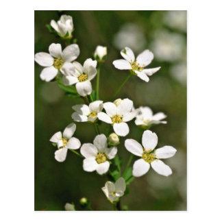 White Apple Blossoms flowers Postcard
