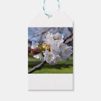 White apple blossoms in spring gift tags