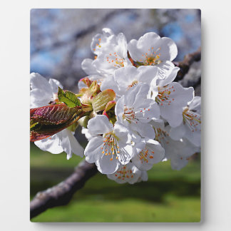 White apple blossoms in spring plaque