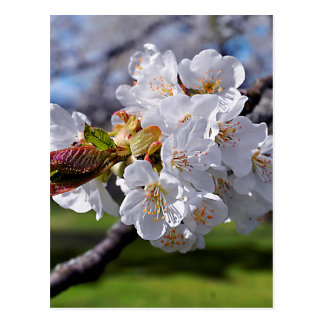 White apple blossoms in spring postcard