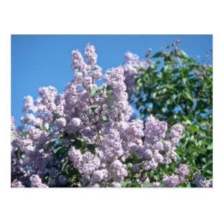 white Apple blossoms, Renfrew flowers Post Cards