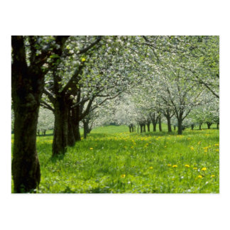 white Apple trees in the spring flowers Postcard