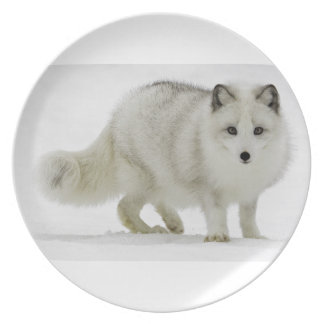 White Arctic Fox Blends Into The Snow Plate