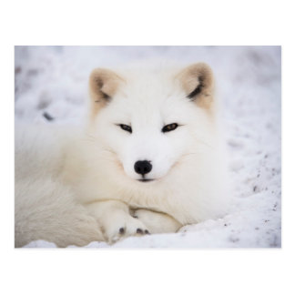 White arctic fox postcard