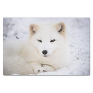 White arctic fox watching you tissue paper