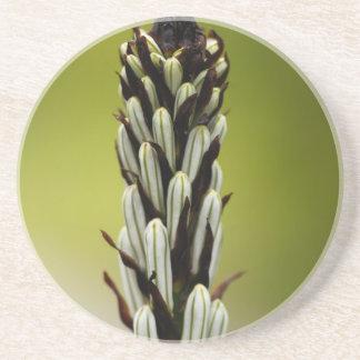 White asphodel (Asphodelus albus) Coaster