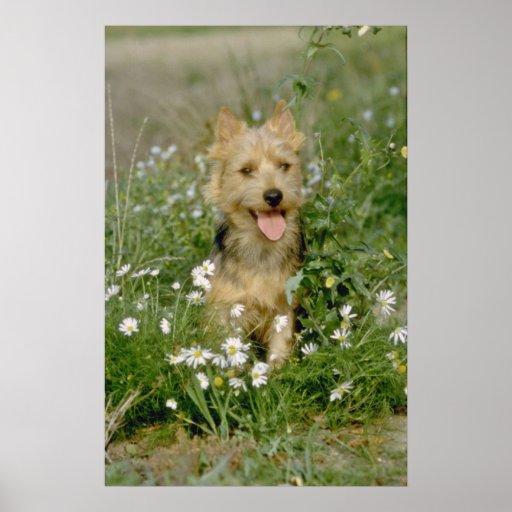 white Australian terrier flowers Print
