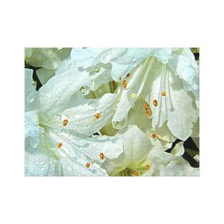 White Azaleas In The Rain In The Springtime Canvas Print