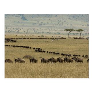 White-bearded Wildebeest or Gnu, Connochaetes 2 Postcard