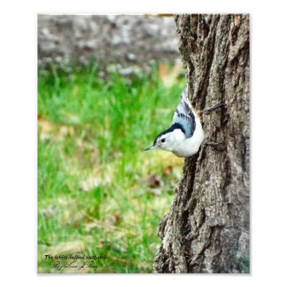 White Bellied Nuthatch print Photograph