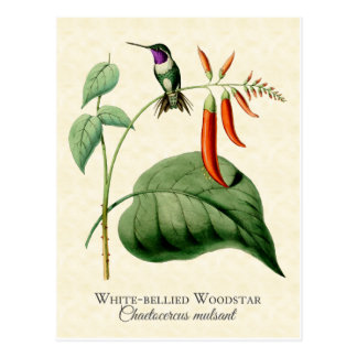 White Bellied Woodstar Hummingbird Vintage Art Postcard