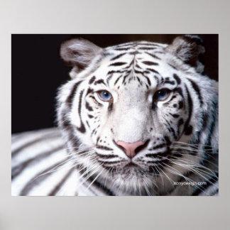 White Bengal Tiger Photography Print