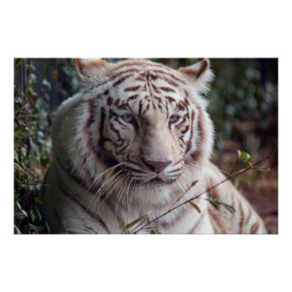 White Bengal Tiger Print