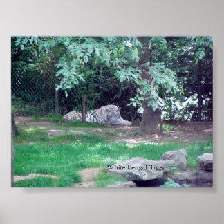 WHITE BENGAL TIGER POSTER