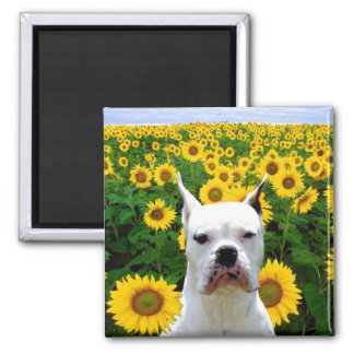 White boxer in sunflowers magnet