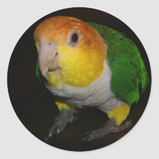 White Breasted Caique Classic Round Sticker