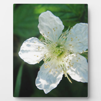 White Brombeerblüte Photo Plaques