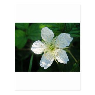 White Brombeerblüte Postcard