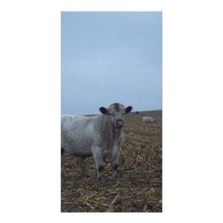 White Bull in a newly harvested Iowa Corn Field Photo Card
