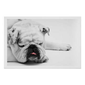 White Bulldog Sleeping Poster
