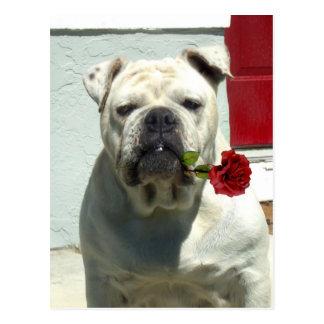White Bulldog with rose Postcard