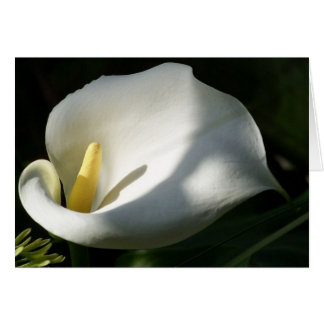 White Calla Lilies Over Black Background In Soft F Card