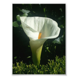 White Calla Lily Photo Print